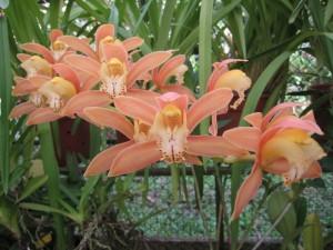 Orchidee Giardino Lankaster > Costa Rica
